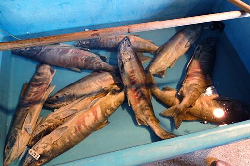 塩引鮭に加工