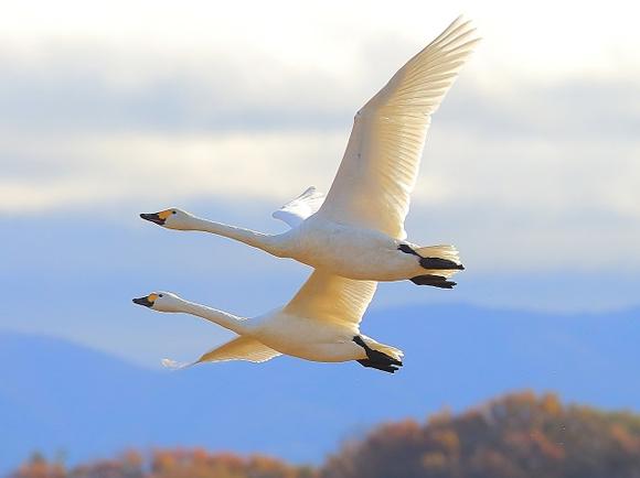 白鳥が二羽並んで飛んでいる写真