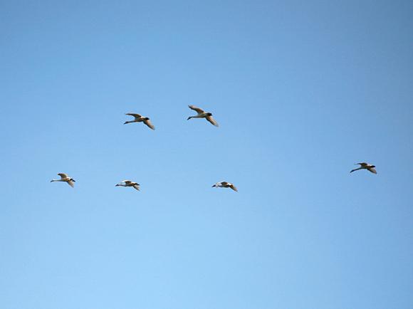 白鳥が連隊を組んで飛んでいる画像