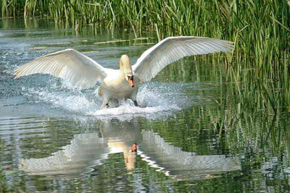 白鳥が着水している画像