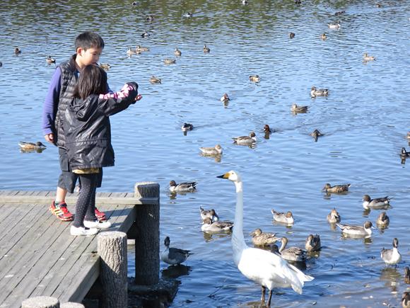 白鳥に餌を与えている画像