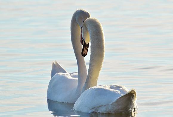 首でハートを作る白鳥の画像