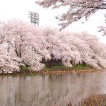 野球場周りの桜