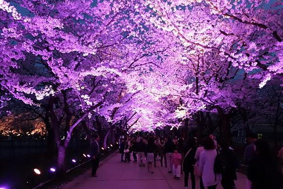 高田公園の桜ロード
