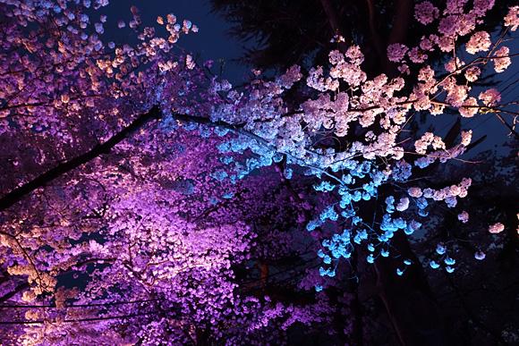 青く照らされた桜