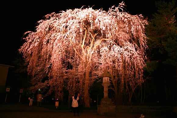 高田公園の大きな枝垂れ桜